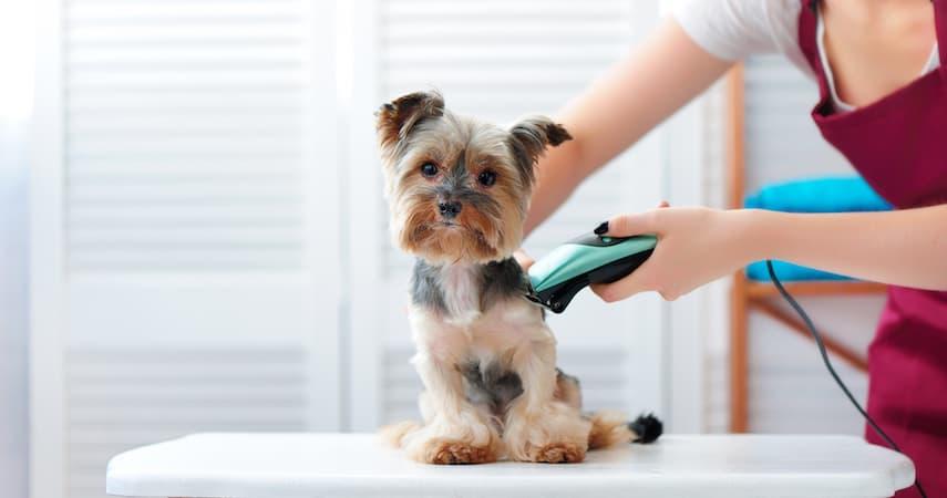 woman grooming a yorkie Kasefoto